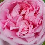 Edith - Blog Foto Pink-Grün Rose bildebank