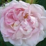 Rose bildebankklein (4)